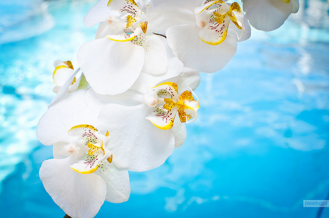 White Orchids by seadogjp on Flickr.