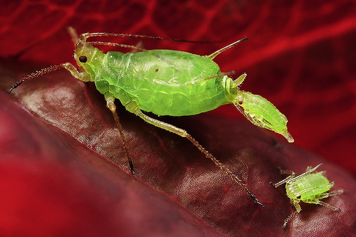 insectlove:  entomophilia: Aphid giving birth. You can see the eye of one developing nymph still inside of the female.