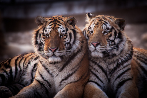 tigersandcompany:  Amur Tigers (by lights+shades)
