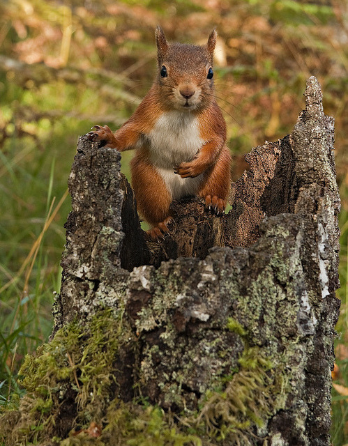 Red Squirrel chilled out by Margaret J Walker on Flickr.