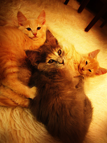 catsdoingcatthings:  three little kittens… (by lisa maria)