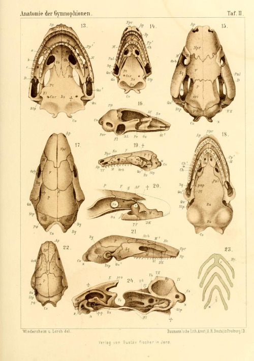 Skulls of amphibians from the order Gymnophiona or Caecilians From: 'Die Anatomie der Gymnophionen' by Robert Wiedersheim (1879)