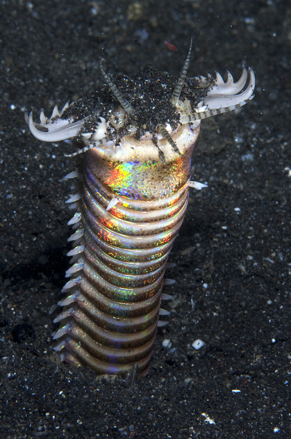 Eunice aphroditois, the Bobbit worm, is an aquatic predatory worm dwelling at the ocean floor at depths of approximately 10 metres (33 ft) to 40 metres (130 ft). This organism buries its long body into an ocean bed composed of gravel, mud, or corals where it waits patiently for outside stimulus to reach one of its five antennae.  Armed with sharp teeth, it is known to attack with such speeds that its prey is sometimes sliced in half. Although the worm hunts for food, it is omnivorous.