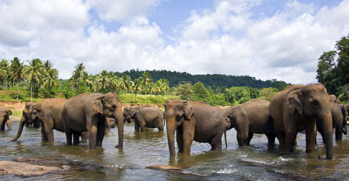 kingdom-of-animals:  Sri Lanka : Elephants by hock how & siew peng on Flickr.  the ellie herd!!! <3