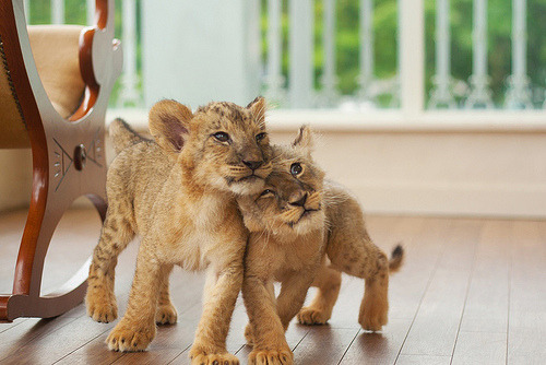 surferdude182:  lion (by nakazonomasashi)