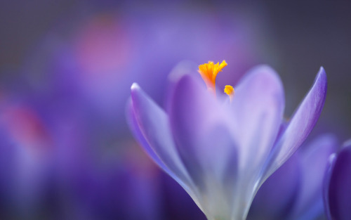 Via Set your backgrounds for spring on Michigan in Pictures via Macro Crocus by Mighty Boy Brian via Our weirdly changing climate.