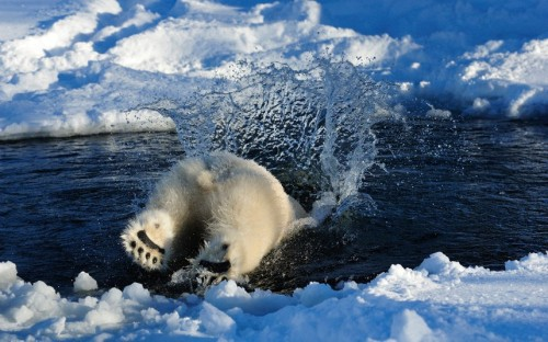 apsies:  A polar bear plunges into the water in Norway. Photographer Steve Bloom has spent hundreds of hours in the Arctic regions photographing polar bears. We will have a gallery of his images on the Telegraph site later today. Picture: Steve Bloom Images / Barcroft Media