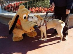 imabitsnarky:  A guide dog meeting Pluto. Excuse me while I go weep in the corner.
