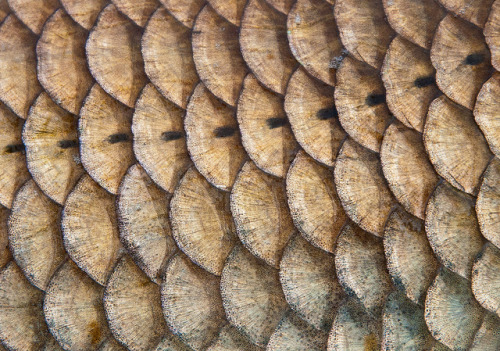 Common Carp Scales by Graham Marsden on Flickr.