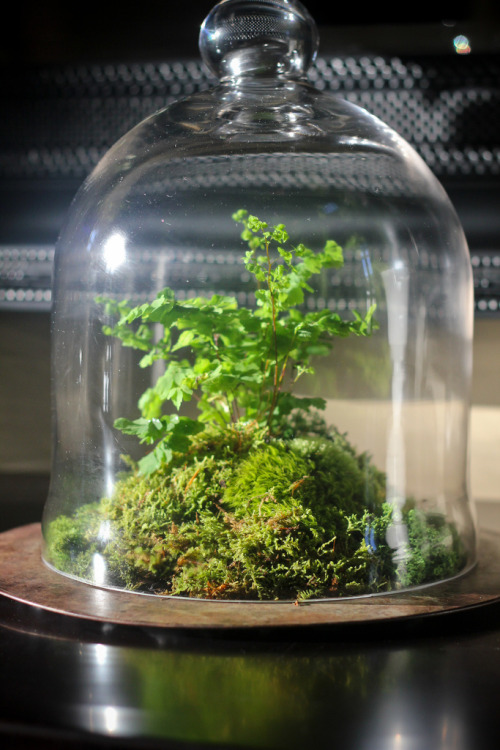 8oaksterrariums:  This is a custom cloche terrarium that I made for my Mom this weekend. It features a variety of mosses and a delicate maidenhair fern.