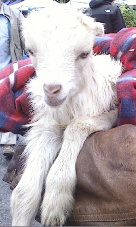 "Our raw expert, Sarah E. Brown, just sent me this cute pic of a baby goat she met at the Hollywood Farmers' Market! OMG WTF SO CUTE. It's not going to be eaten, don't worry. The owner is a goat cheese farmer though so that blows. But still, what a cute baby! He looks pretty lost in thought, right? He's all, ""why do I have to go to the stupid farmers' market? I'm missing Saved by the Bell!"" Sarah has some thoughts to add:  This Sunday at the Hollywood Farmers' Market, I met this fantastic goat! My hero Vegan Ari wrote about some of the hypocrisies of the animal policies of the market (hardly any animals allowed inside unless they're DEAD? Seriously?!) and told me that the goats aren't killed or anything, though we both agree that it's messed up that the goats have to brave the crowds. Poor little kids!"