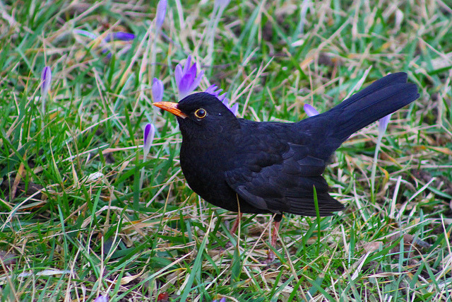 Amsel on Flickr.