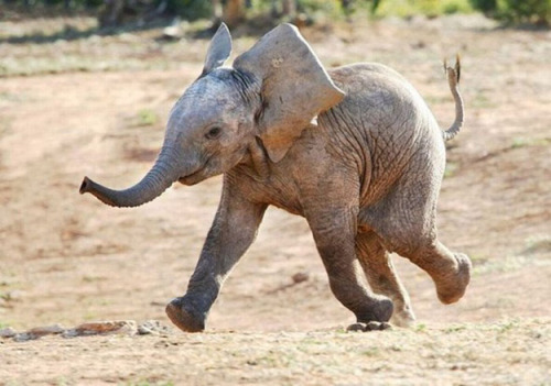tinsely:  This Elephant (via The 25 Happiest Animals In The World)  Dumbo impersonator