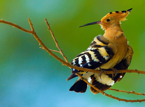 rhamphotheca:  fairy-wren: hoopoe  (photo by HD)