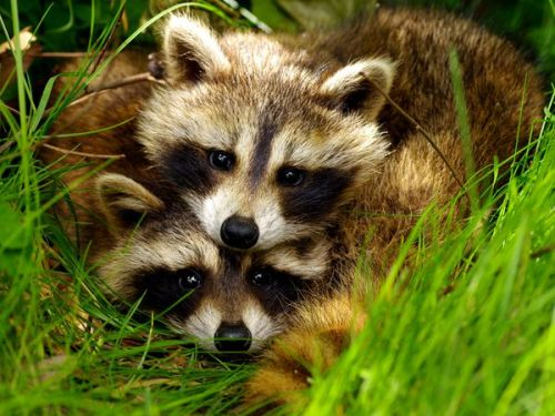 feather-scales-and-tails:  We found these two raccoons in our backyard, no mom around. They both seemed to look kind of curious, and kind of nervous. My daughter said she likes this picture because the outline of their bodies makes the outline of a heart.