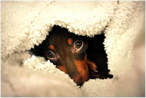 Charlie in a nest of blankets - he likes to burrow.