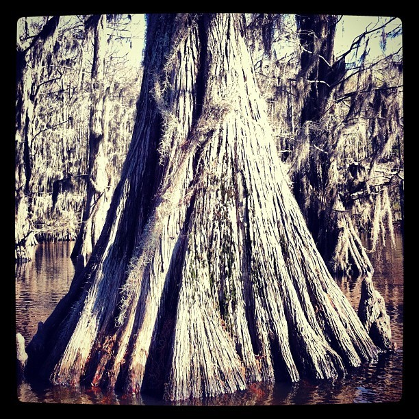 #root #tree #big #trunk #caddo #lake #rikfoto #2012 #march  (Taken with Instagram at Caddo Lake State Park)