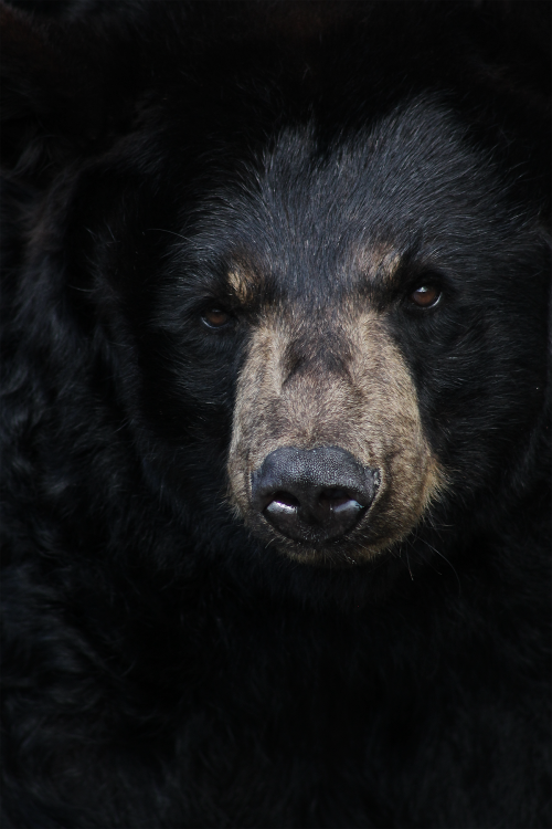 earthandanimals:  Black bear. Photo taken by Jason Carne at the Pop Corn Zoo in South Jersey.