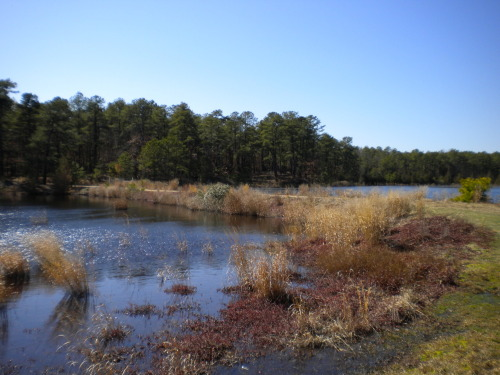 Here is a look at the prettier side of New Jersey - The old cranberry bogs behind my neighborhood.  I'm told Ocean Spray used this bog to harvest their cranberries. Although it has not been worked for several years, cranberries still continue to grow. You'll notice them on the edge of the bog.  The dead tree stumps sticking up really creep me out. Like hands reaching out of the water.