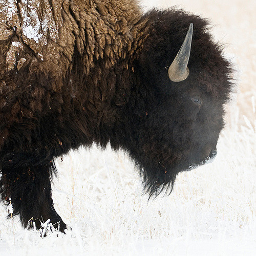 1201_1147 Buffalo breath (by wild prairie man)