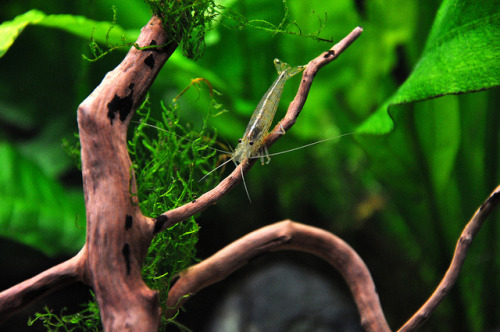 Amano Shrimp / Japonica Garnaal by Petfles on Flickr.