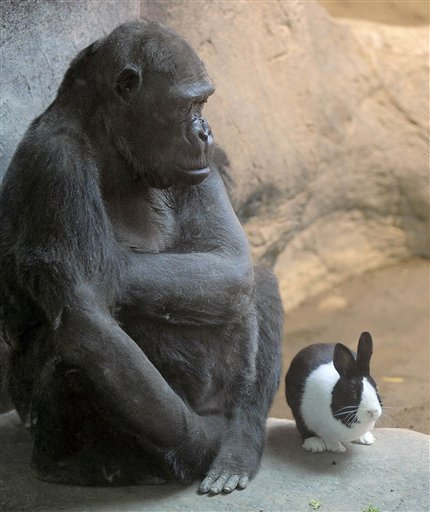 "thedailywhat:  Interspecies Intermingling of the Day: Samantha, a 47-year-old western lowland gorilla at the Erie Zoo, has been all alone since her companion Rudy passed away in 2005. Zookeepers decided to try and alleviate her loneliness by giving her a pet: Panda the Dutch rabbit. Initially cautious, the keepers introduced them in increments before leaving Panda alone with Samantha (keeping an escape hatch open just in case). But their concern quickly abated as the two took to each other right away. Samantha's handlers say they aren't worried as she's never expressed anything but fondness toward Panda. Still, they say the bunny is more than capable of holding his own. ""He's fearless,"" says the zoo's chief executive, Scott Mitchell. ""He's not threatened by her. More often they're closer together than they are farther apart."" [goerie / arbroath.]"