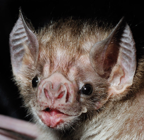 criminallyincompetent:  verticalvest:  Vampire bats - people think they're scary  they're like winged kittens with weird vagina noses how could anyone be afraid of that it's fucking adorable  Oh god they do look like kittens O.O