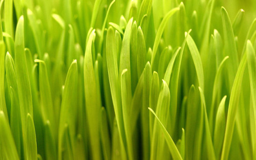 Wheatgrass by Thomas Hawk on Flickr.