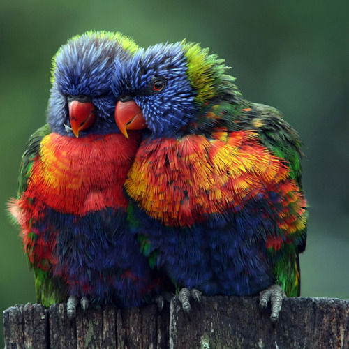 cheshireshecat:  Rainbow Lorikeets