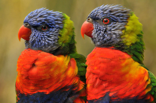 fairy-wren:  rainbow lorikeets (photo by ucumari)