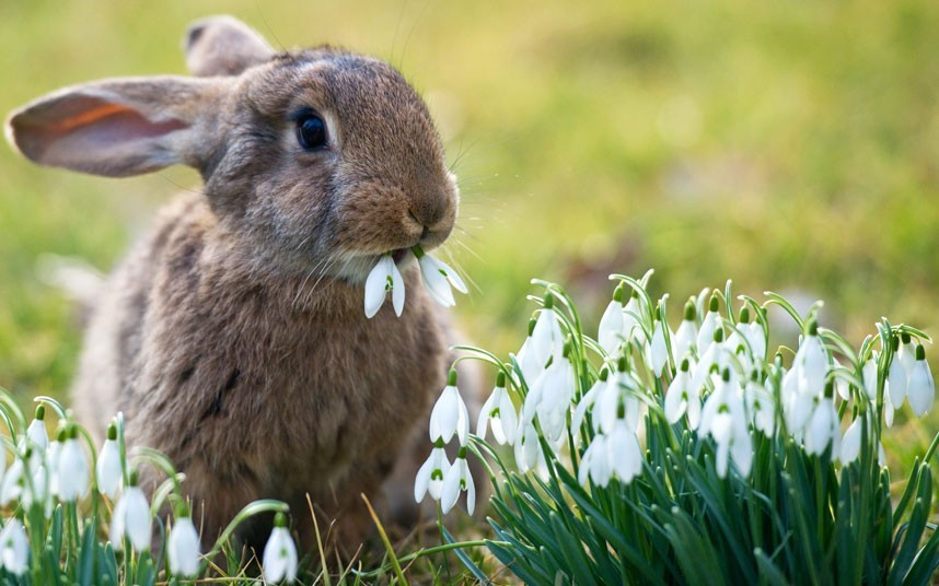 "Wildlife lovers go ""awwwww,"" while snowdrop aficionados demand swift justice. —MN inothernews:  ""Did I leave the gas on?"" (Photo of a rabbit eating snowdrop flowers near Sieversdorf, Germany by Patrick Pleul / EPA via the Telegraph)"