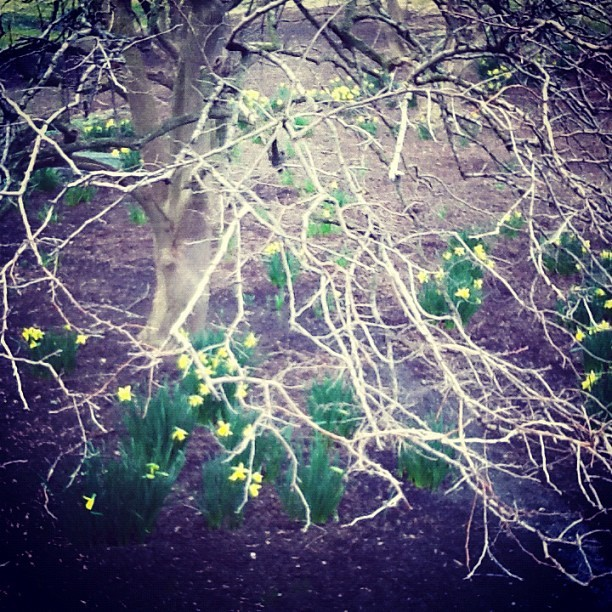 Daffodils and robins. Spring has sprung! (Taken with Instagram at New York Botanical Garden)