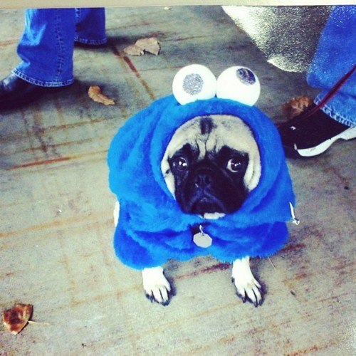 This is Jonesy. He won 1st place for Pug-a-ween contest in '05.  He died the following summer. :(  Miss him dearly.  RIP Jonesy :(.