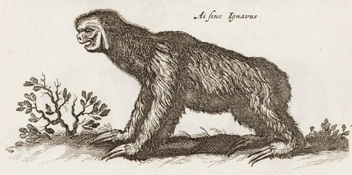 "biomedicalephemera:  ""Ai siue Ignavus"" - Bradypus tridactylus The title ""Ai siue Ignavus"" translates to ""Ai, or Lazy"", which were the two common names for the Pale-throated sloth at the time. The Bradypus genus is the genus of three-toed sloths, which are the ones who are descended from a common ancestor of the giant ground sloths - two-toed sloths are actually not closely-related to either three-toed or giant sloths.  Even though they're not closely-related, both sloth families share a unique trait: they don't have seven cervical vertebrae, which is a trait of almost all mammals, including those with very short necks (such as whales) and very long necks (such as giraffes). The two-toed sloths have only six cervical vertebrae, and the three-toed sloths have nine cervical vertebrae. The extra vertebrae in the three-toed sloths are what allow them to have such flexibility in their neck, and how they can turn their head 180 degrees. A Description of the Nature of Four-Footed Beasts. Joannes Jonstonus, 1678."