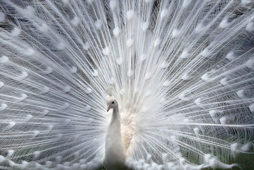 ecocides:  Albino peacock | image by The Real Darren Stone