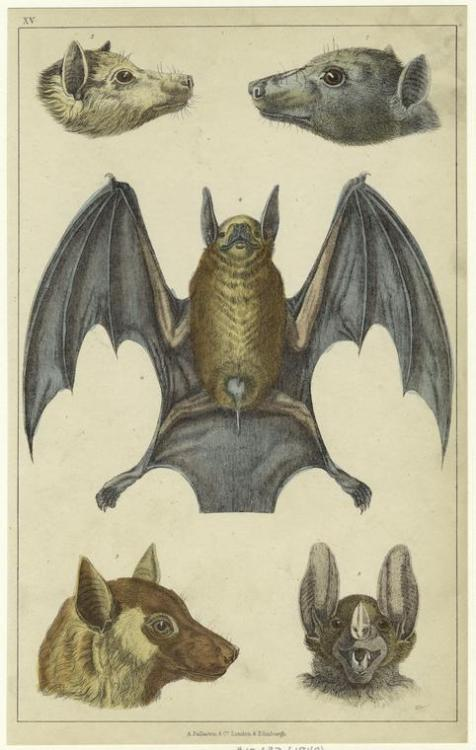 compendium-of-beasts:  Black-faced bat ; Edible bat ; Red-footed bat ; Common vampire bat. (1848)  via NYPL