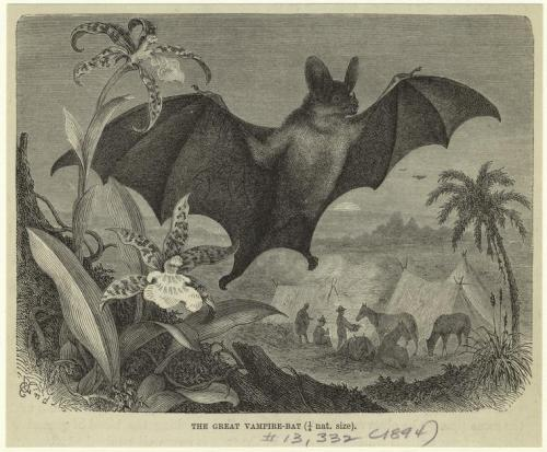 compendium-of-beasts:  The great vampire bat. (1894)  via NYPL