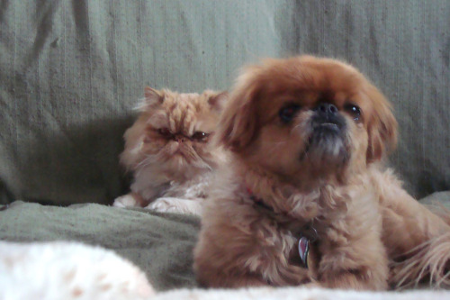 In every dog of the year, there is a PERSIAN CAT behind!!!