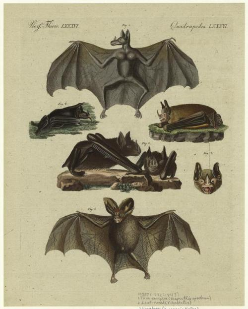 compendium-of-beasts:  True vampire ; Leaf-nosed ; Shovelnose ; Spearnose ; Heartnose. (1792-1893)  via NYPL