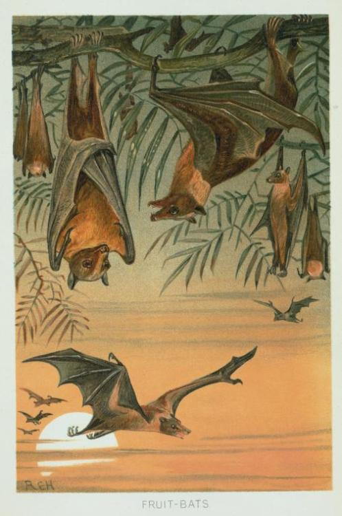 compendium-of-beasts:  Fruit Bats. ([189-?])  via NYPL