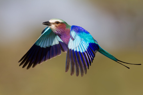 rhamphotheca:  fairy-wren:  lilac breasted roller  (photo by conrad tan)
