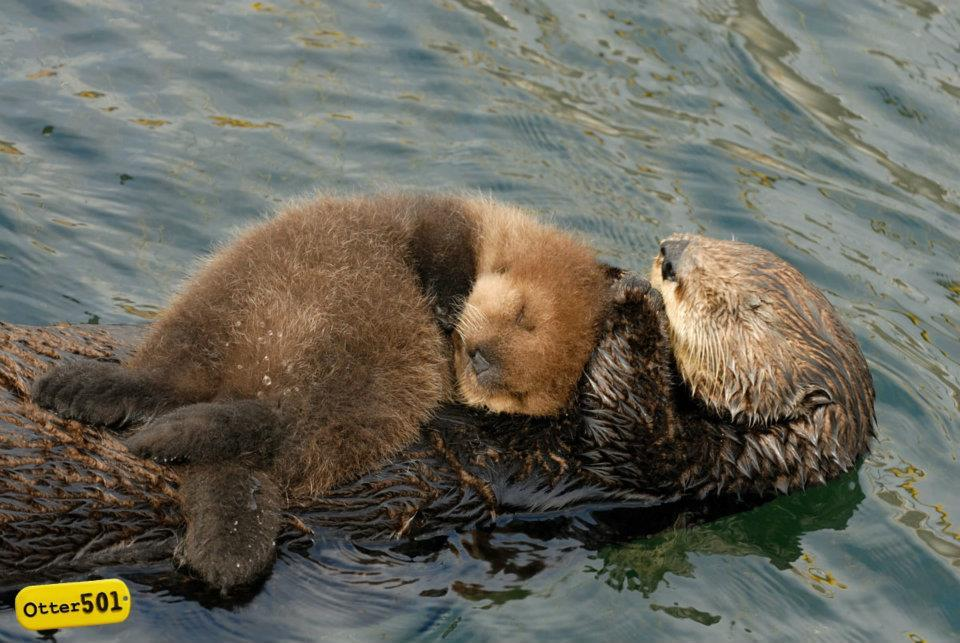Ever wonder what sea otters do during winter storms? Many of them seek out sheltered coves or wrap themselves in kelp. However, otter moms have been known to swim in a large circular pattern, speedily swimming upwind and slowly coasting downwind allowing the pup to nurse and catch a few zz's on the smooth ride back.