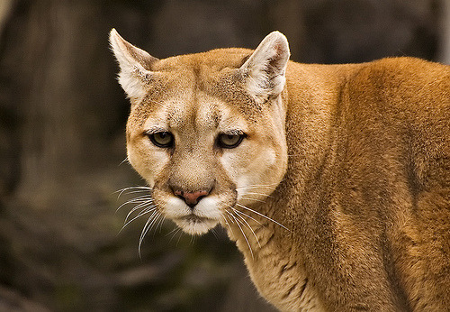 funkysafari:  Puma by TravelnFotog