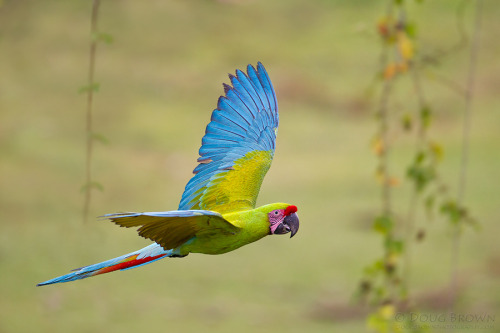 rhamphotheca:  fairy-wren: Great Green Macaw aka Buffon's Macaw (Ara ambiguus) (photo by doug brown)