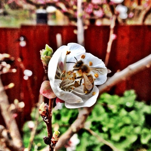 And sometimes I get lucky. #bee #flower  #ig #webstagram #instagram #instagramers #iphoneography #instagramhub #iphone4 #iphone4S #statigram #photography #igers #picoftheday #bestoftheday #igaddict #instaboost  #nature    (Taken with instagram)