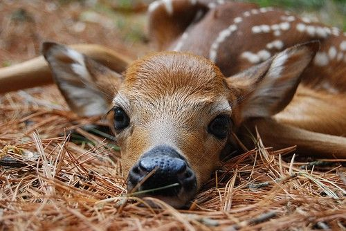 Little fawn,enticing you to come to Animal Hour:) via:cutestuff
