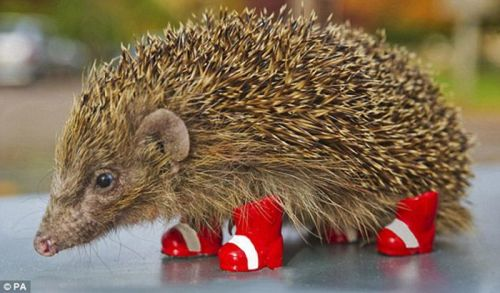 magicalnaturetour:  Cute hedgehog in his red boots (via Чудо в сапогах) :)