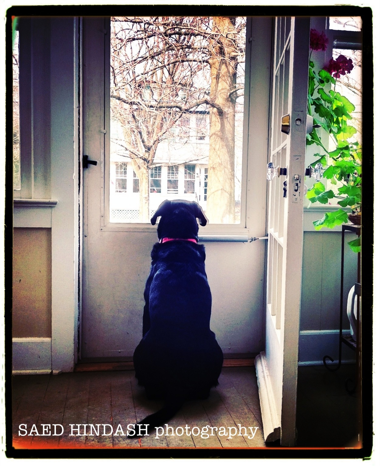 Our dog waits for family to come home.