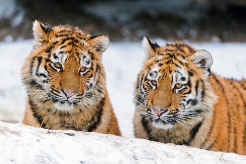 tigersandcompany:  Amur Cubs (by Tambako the Jaguar)