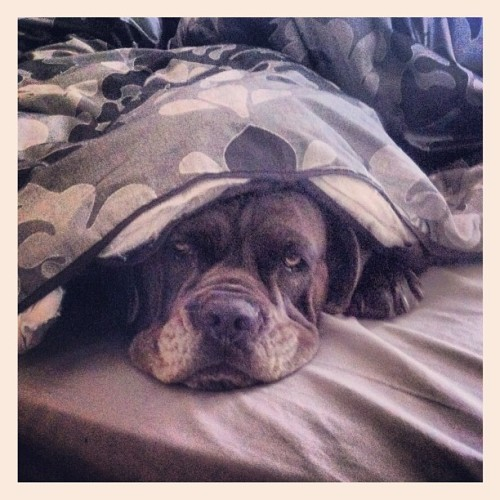 Somebody did not want to get up this morning #italianmastiff #dogsofinstagram #ifuckinglovemydog #canecorso #dog  (Taken with Instagram at Home sweet home)